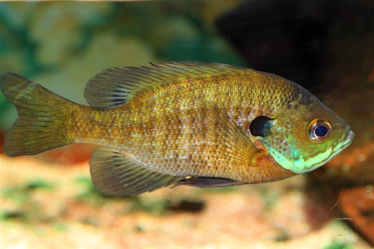 Bluegill-Best Tasting Freshwater Fish