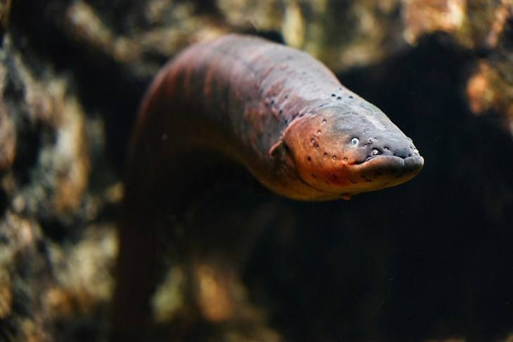 Why Do People Fuss About Eels?