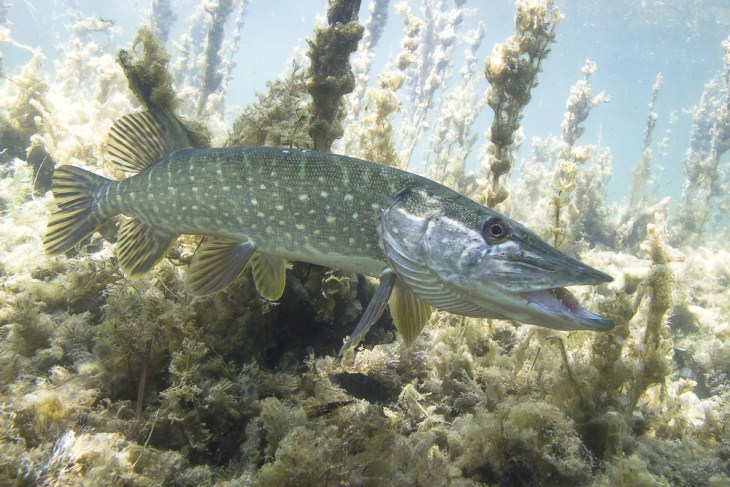 What Are The Defining Features Of The Muskie Fish
